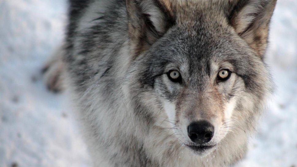 Происхождение тюрков от волчицы